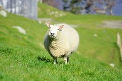 Schafe und Glassland Stockbilder
