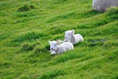 Schafe und Glassland Stockfotos