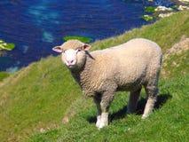 Schafe und Glassland lizenzfreie stockbilder
