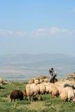 Schafe und Hirt Stockbild