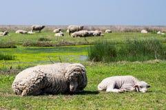 Schafe und ihre Mutter Stockbilder