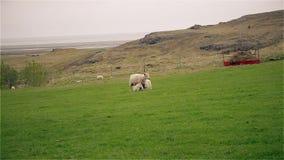 Schafe und junge Lämmer, die auf einem Gebiet weiden lassen stock video