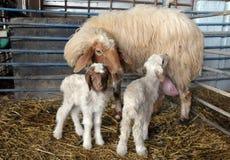 Schafe und Lämmer Lizenzfreie Stockfotos