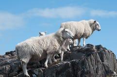 Schafe und Lämmer stockfotografie