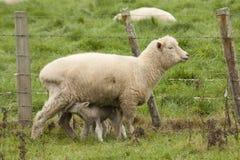 Schafe und Lämmer Stockbild