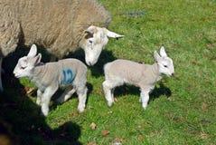 Schafe und Lämmer Stockfoto