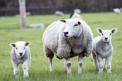 Schafe und Lämmer Lizenzfreie Stockbilder