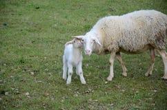 Schafe und Lämmer Stockbilder