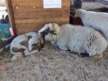 Schafe und Lämmer stock footage