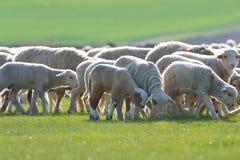 Schafe und Lämmer Stockfotos
