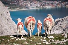 Schafe und Lämmer auf einer Klippe, die in Richtung Baska blickt, bellen Stockfoto