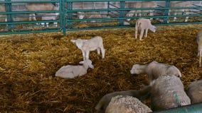 Schafe und Lämmer in der Scheune stock video