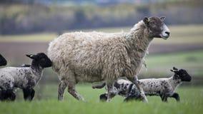 Schafe und Lämmer, die in ein Feld laufen Lizenzfreie Stockbilder