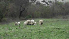 Schafe und Lämmer, die in einer grünen Wiese am Frühling weiden lassen stock footage