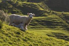 Schafe und Lämmer, die im Frühjahr einziehen Stockfotografie