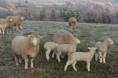 Schafe und Lämmer, die im Winter weiden lassen Stockfotografie