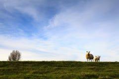 Schafe und Lämmer am Dike Lizenzfreie Stockfotos