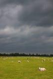 Schafe und Lämmer in einer Wiese mit dunklen Wolken Stockfotografie