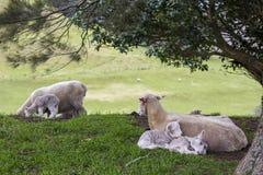 Schafe und Lämmer im Frühjahr Stockfoto