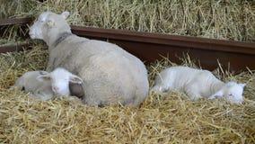 Schafe und Lämmer im Heu stock footage