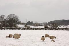 Schafe und Lämmer im Schnee lizenzfreie stockfotografie