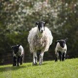 Schafe und Lämmer walkin in der Rasenfläche Lizenzfreie Stockfotos