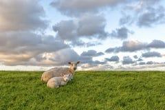 Schafe und Lamm Stockfoto