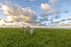 Schafe und Lamm Stockfotografie