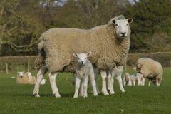 Schafe und Lamm Lizenzfreies Stockbild