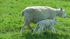 Schafe und Lamm stock video