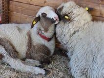 Schafe und Lamm stock footage