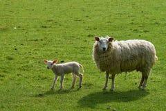 Schafe und Lamm lizenzfreies stockfoto