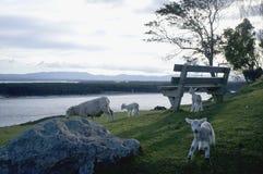 Schafe und Lamm auf Hügel Lizenzfreie Stockbilder