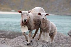 Schafe und Lamm in der Küste Lizenzfreie Stockbilder