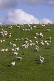 Schafe und Lamm, die weiden lassen Lizenzfreies Stockbild