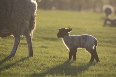 Schafe und Lamm am Gras Lizenzfreie Stockfotos