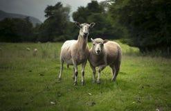 Schafe und Lamm Herefordshire, Großbritannien Stockbild