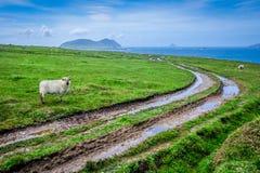 Schafe und Muddy Tracks lizenzfreies stockbild