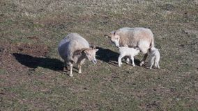 Schafe und neugeborene Doppellämmer stockbild
