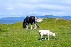 Schafe und Pferde auf den Gebieten von Iona im inneren Hebrides, Schottland Stockfotografie