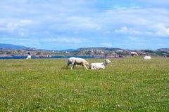 Schafe und Pferde auf den Gebieten von Iona im inneren Hebrides, Schottland-Schaf auf den Gebieten von Iona im inneren Hebrides,  Stockfotografie