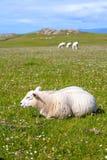 Schafe und Pferde auf den Gebieten von Iona im inneren Hebrides, Schottland-Schaf auf den Gebieten von Iona im inneren Hebrides,  Lizenzfreie Stockfotografie