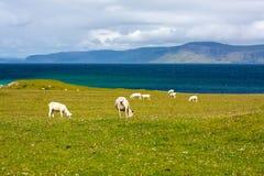 Schafe und Pferde auf den Gebieten von Iona im inneren Hebrides, Schottland-Schaf auf den Gebieten von Iona im inneren Hebrides,  Lizenzfreie Stockbilder
