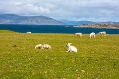 Schafe und Pferde auf den Gebieten von Iona im inneren Hebrides, Schottland-Schaf auf den Gebieten von Iona im inneren Hebrides,  Stockbilder
