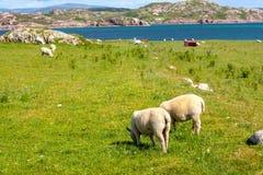Schafe und Pferde auf den Gebieten von Iona im inneren Hebrides, Schottland-Schaf auf den Gebieten von Iona im inneren Hebrides,  Lizenzfreies Stockbild