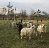 Schafe und Schafe auf einem Bauernhof in Ukraine Stockbild