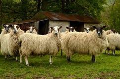 Schafe und Scheune Lizenzfreie Stockfotos