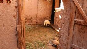 Schafe und Scheune bei Kasbah Aît Ben Haddou, Maroc lizenzfreies stockbild