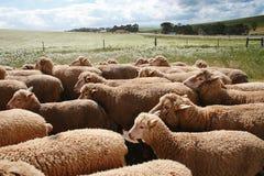 Schafe und Stormclouds Stockfotos