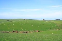 Schafe und Wiese Lizenzfreies Stockbild